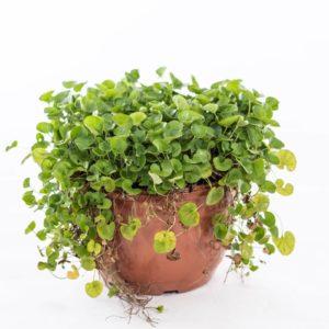 דיכונדרה ירוקה