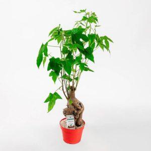 ברככינטון - עץ האהבה