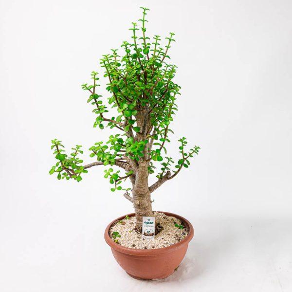 פורטולקריה - עץ הכסף